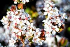 Белые цветки вишневого цвета на крупном плане ветви Стоковая Фотография RF