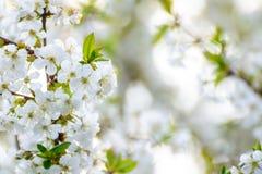 Белые цветки вишни весны на яркой запачканной предпосылке Стоковое Фото