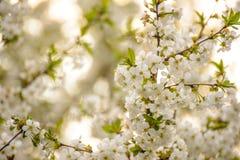 Белые цветки вишни весны на яркой запачканной предпосылке Стоковые Фотографии RF