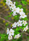 Белые цветки вишни на ветви Стоковое фото RF