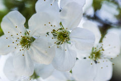 Белые цветки вишни стоковое изображение rf