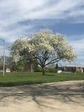 Белые цветки вполне Стоковые Фото