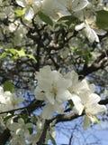 Белые цветки вполне Стоковые Фотографии RF