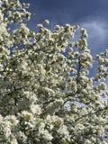 Белые цветки вполне Стоковые Изображения RF