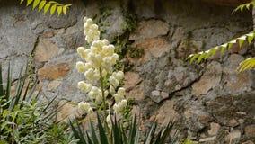 Белые цветки в дожде и стене видеоматериал