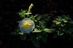 Белые цветки в утре Стоковое Фото