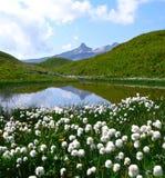 Белые цветки в швейцарских Альпах около Spitzmeilen Стоковое фото RF