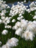 Белые цветки в швейцарских Альпах около Spitzmeilen Стоковое Изображение RF