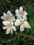 Белые цветки в швейцарских Альпах Стоковая Фотография