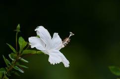 Белые цветки гибискуса Стоковые Фото