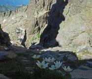 Белые цветки горы в скалистой долине стоковое фото