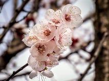 Белые цветки дерева абрикоса Стоковая Фотография