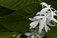 Белые цветки зацветают в саде Стоковое Изображение
