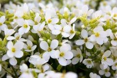 Белые цветки зацветая в саде Стоковые Изображения RF