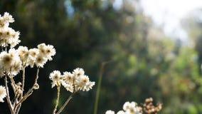 Белые цветки земли с расплывчатым взглядом задней стороны Стоковое Изображение RF