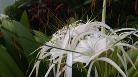 Белые цветки, зеленый цвет выходят красивый стоковая фотография rf