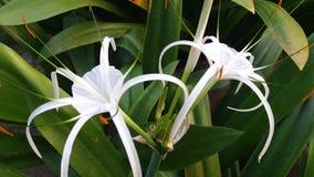 Белые цветки, зеленый цвет выходят красивый стоковая фотография