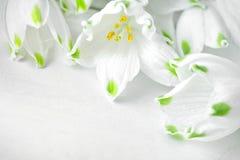 Белые цветки лилии Loddon лежат на белых деревянных досках Стоковые Фотографии RF