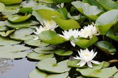 Белые цветки лилий воды Стоковая Фотография