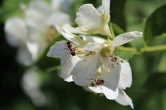 Белые цветки и муравьи в саде стоковые изображения rf