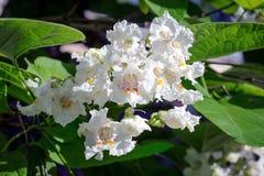 Белые цветки каштана Стоковые Изображения RF