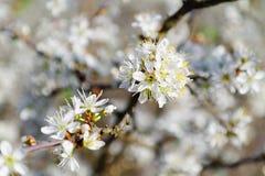 Белые цветки кислой вишни Стоковая Фотография RF
