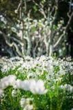 Белые цветки космоса в garden5 Стоковые Фотографии RF