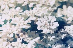 Белые цветки, красивая предпосылка весеннего времени Стоковое фото RF