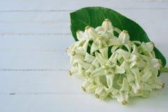 Белые цветки кроны Стоковое Фото