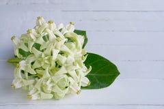 Белые цветки кроны Стоковая Фотография RF