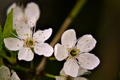 Белые цветки миндалины Стоковое фото RF