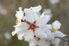 Белые цветки миндального дерева Стоковое Изображение RF