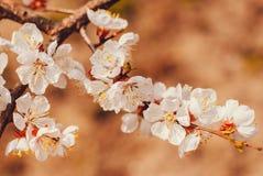 Белые цветки на абрикосе Стоковая Фотография RF