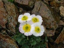 Белые цветки на влажных утесах Стоковая Фотография RF