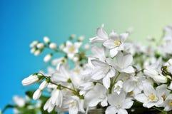 Белые цветки на голубой пастельной предпосылке Стоковое фото RF