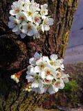 Белые цветки на дереве Стоковая Фотография