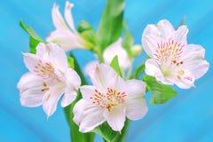 Белые цветки на яркой голубой предпосылке Стоковые Фото