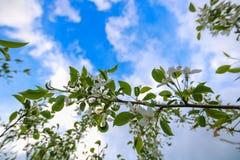 Белые цветки облаков яблока и белизны Стоковые Изображения