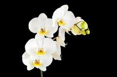 Белые цветки орхидеи изолированные на черной предпосылке Стоковая Фотография