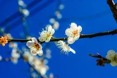 Белые цветки персика Стоковая Фотография RF