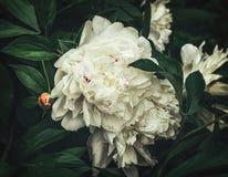 Белые цветки пионов Стоковые Фотографии RF