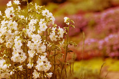 Белые цветки сада Стоковое Изображение RF