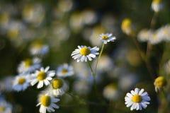 Белые цветки стоцвета на солнечный день Стоковые Изображения