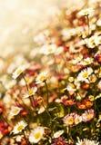 Белые цветки стоцвета, предпосылка весны Стоковое Изображение