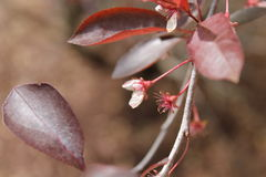 Белые цветки с глубоко - листьями красного цвета Стоковые Изображения RF
