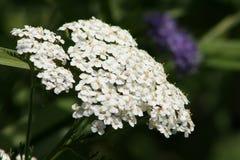 Белые цветки тысячелистника обыкновенного Стоковое Изображение