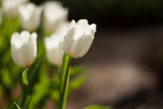 Белые цветки тюльпана в утре Стоковое Изображение