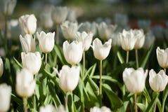 Белые цветки тюльпана в утре Стоковое Фото
