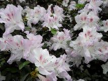 Белые цветки, цветки Зацветая дерево весной Белые цветки, белизна азалий, камелии Весна, цветки Цвести весны, Стоковая Фотография RF