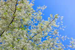 Белые цветки яблока Стоковое Изображение